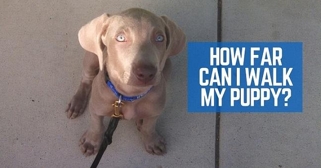 How far can I walk my puppy?
