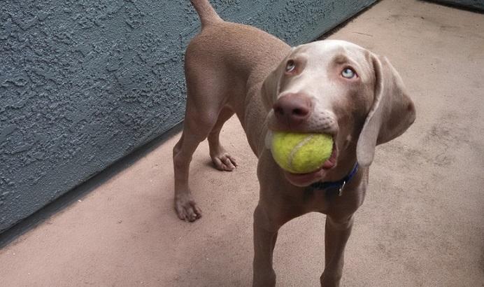 Weimaraner puppy 12 weeks