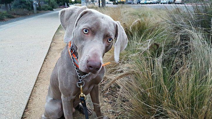 Training Issues With My Weimaraner Dog - ThatMutt com