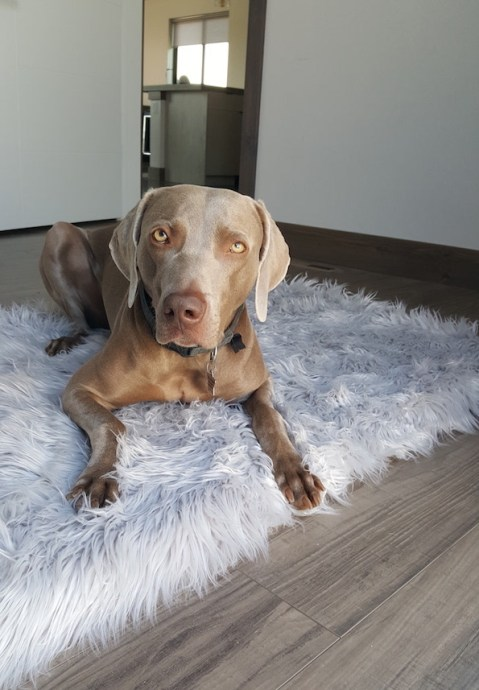 Remy with his PupRug bed