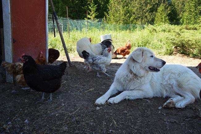 Maremma Sheepdog Livestock Guardian Dog