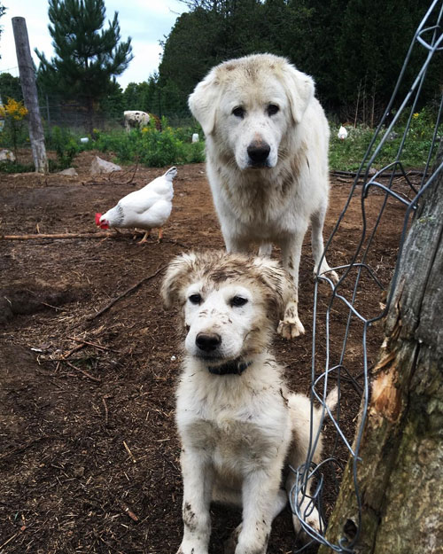 Livestock guardian dog and puppy with a chicken