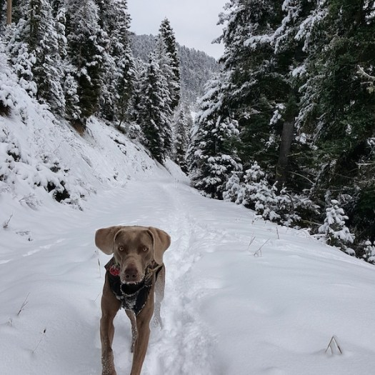 Remy the weimaraner hiking in the cold