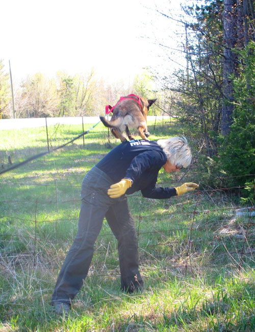 Belgian Malinois search and rescue dog Zori jumps from her handler Susan Read's back to get over a fence