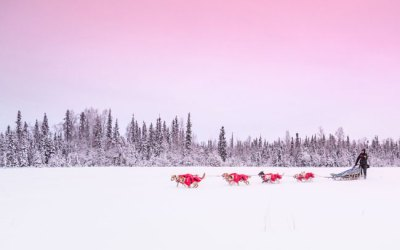 Training Sled Dogs for the Yukon Quest and Iditarod