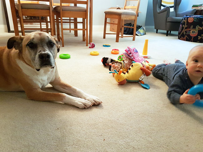 Dog laying beside a baby as she plays with her toys