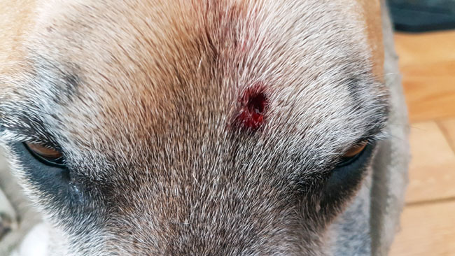 Puncture wound on a dog's forehead