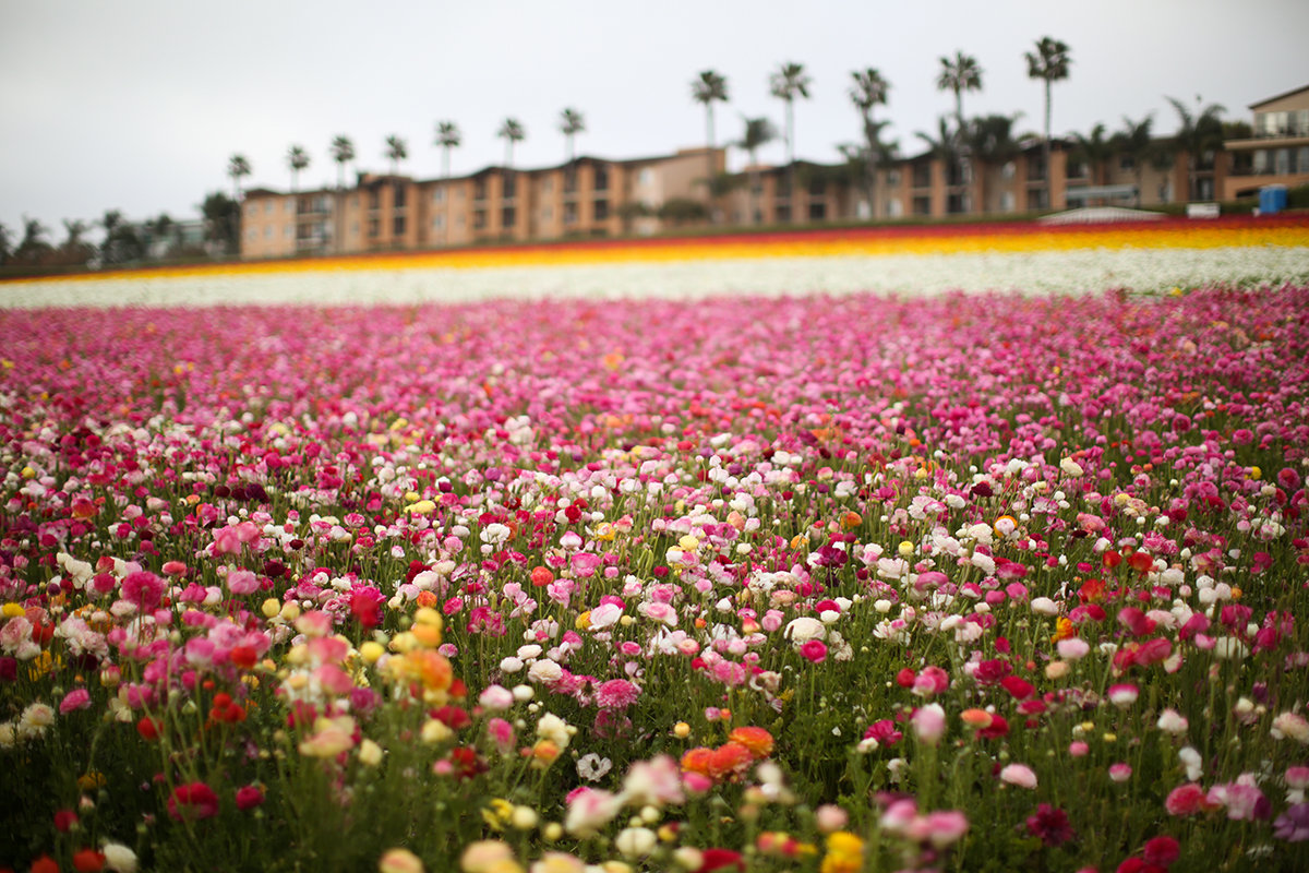 Flower Field in Carlsbad, California