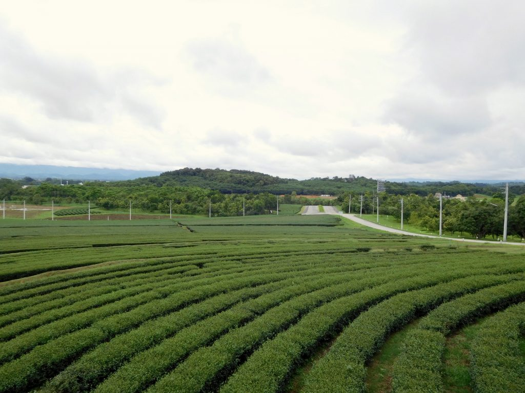 Tea plantation Chiang Rai