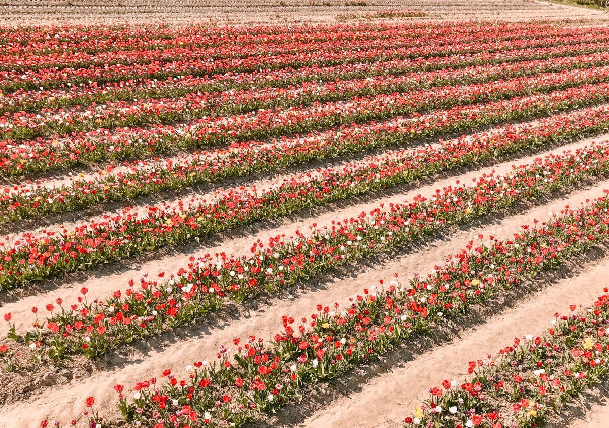 Tulpenpluktuin Marknesse 6