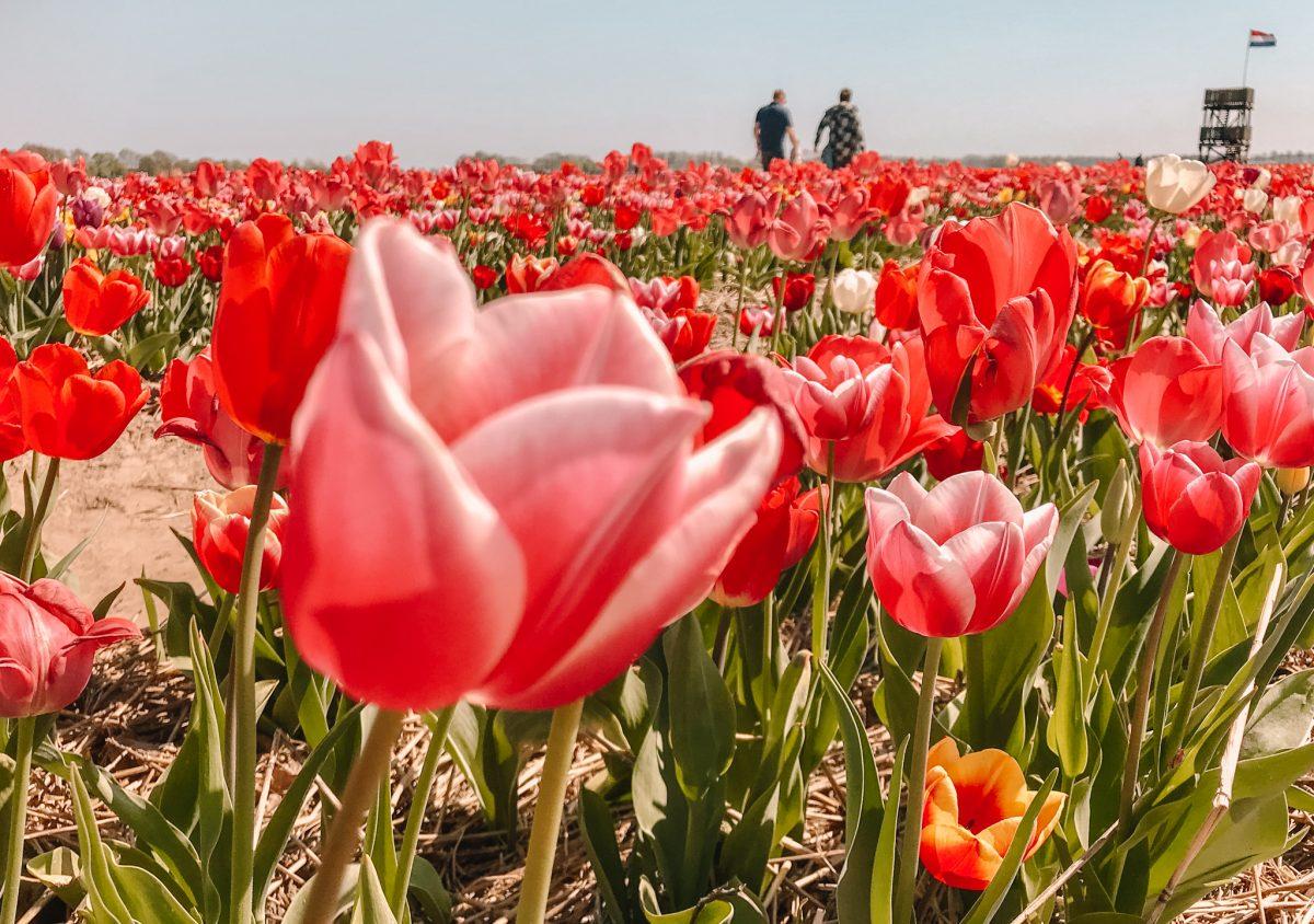 Tulpenpluktuin Marknesse 9