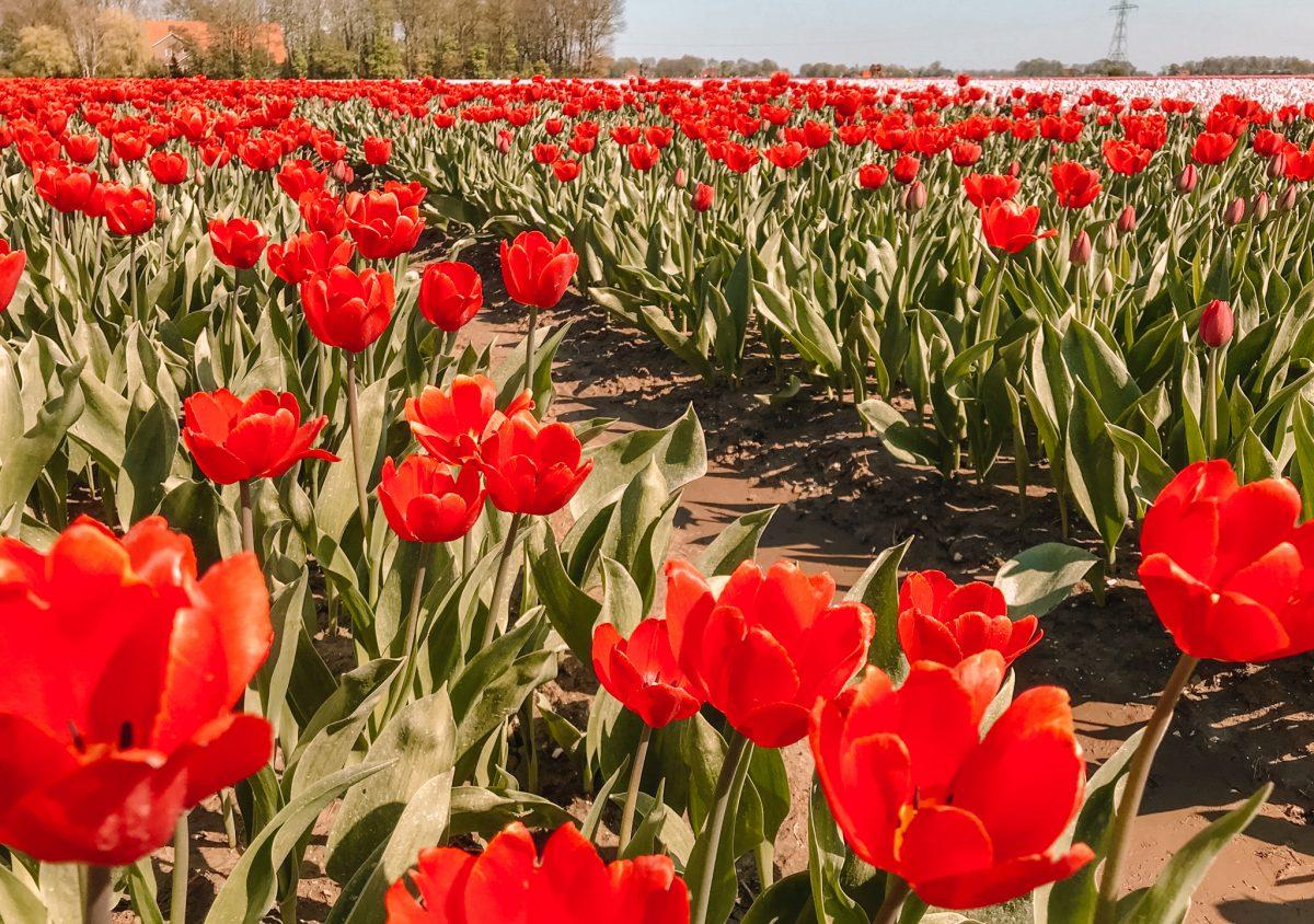 Tulpenroute Flevoland 12
