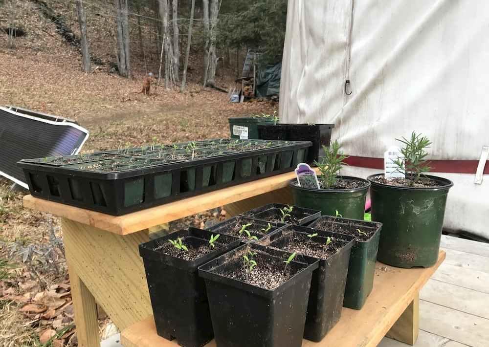 tomato, basil starts, rosemary plants