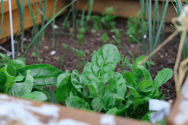 spinach growing in a raised bed garden