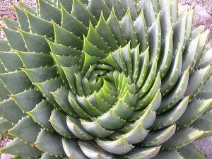 agavespiral