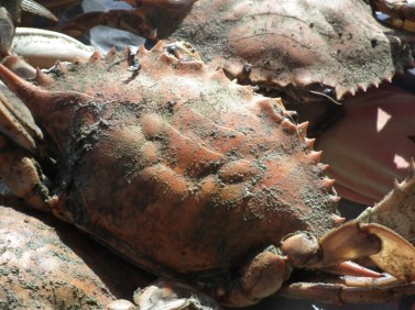 One store across from the Wawa on Rt. 5 near the bridge was advertising steamed crabs at $70 for three dozen. THE CHESAPEAKE TODAY photo