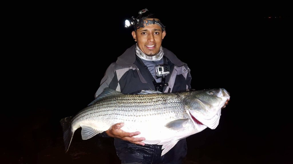 Junior Jimenez with a prize Rockfish caught from the shoreline at Sandy Point Beach on the Chesapeake Bay using alewifes as bait. Photos courtesy of Junior Jimenz.