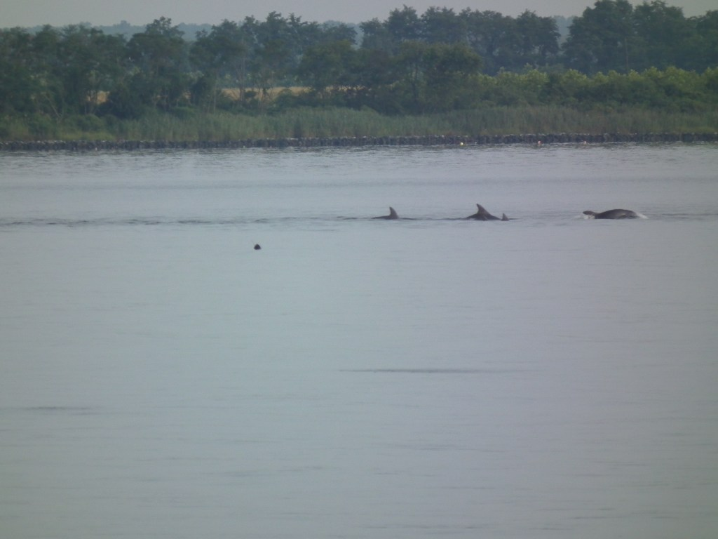 School of Dolphins heading into Breton Bay from Potomac