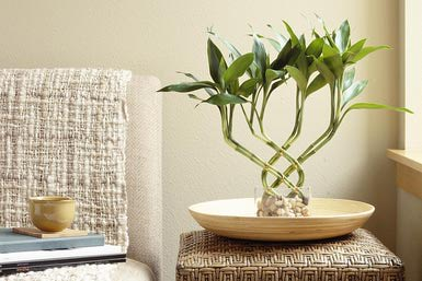 Bamboo, House Plants, Indoor Plants, Bamboo Plants, Lucky Bamboo Plants,  Potted