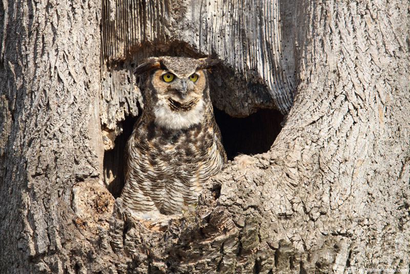Great Horned Owl In Nest Cavity