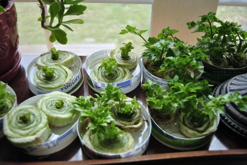 regrow veggies
