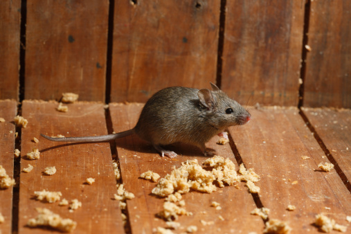 Naturally Get Rid of Rats & Mice