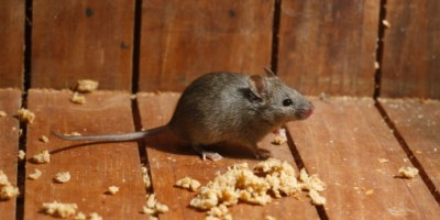 Naturally Get Rid of Rats & Mice