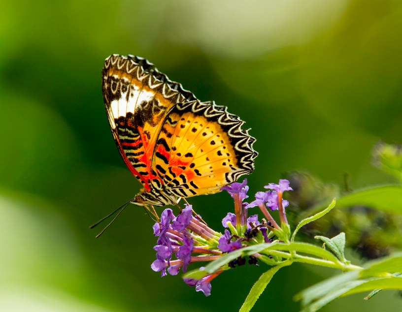 attract butterflies to your garden
