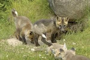 Foxes © Outdoorsman | Dreamstime.com