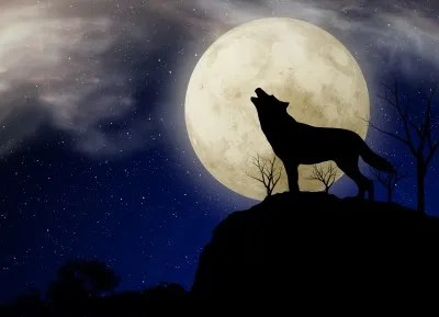 No really, a wolf!  © graur codrin  freedigitalphotos.net