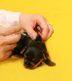 puppy getting vaccinations
