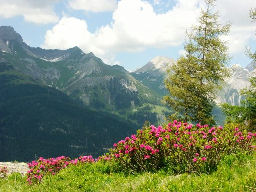 A sea of ​​Alpine roses - on the Rendl, south of St. Anton am Arlberg, especially many heath flowers bloom in June and July Photo credit: TVB St. Anton am Arlberg / photographer Christian Schranz