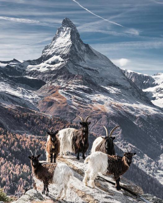 Goats smiling with the Matterhorn as a background.