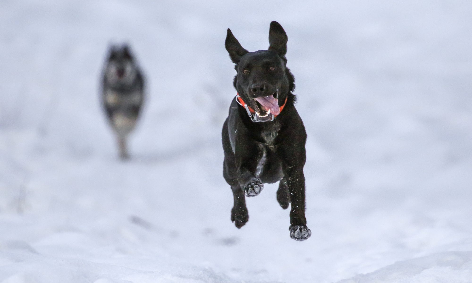 Dogs are running through the snow- Photo Patrick Hendry. Unsplash. Brexit: UK travellers to EU face end of free roaming and pet travel from 2021