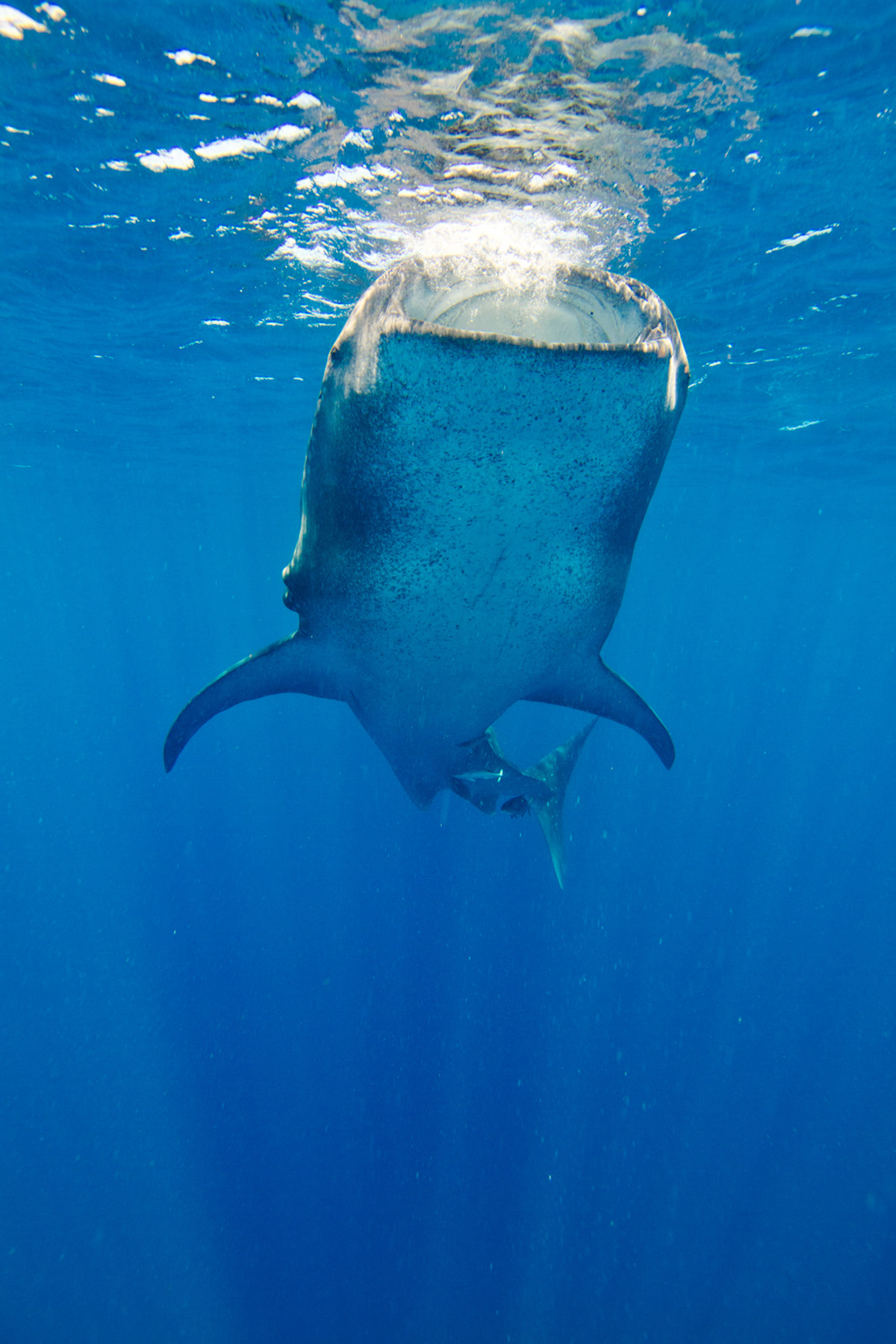 Whale shark, close to Cancun and Isla Mujeres. Shot with Sony Alpha + Ikelite Housing