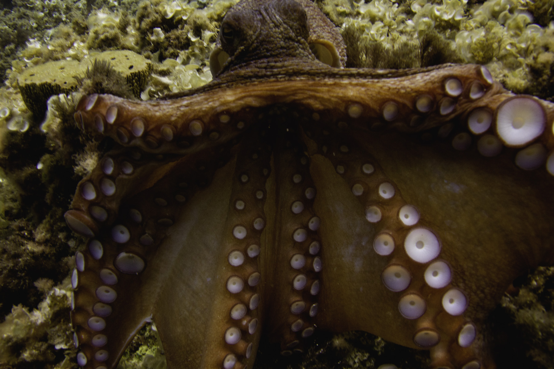 An octopus opens to the camera in the coast of Ibiza. Shot with Canon + Ikelite housing