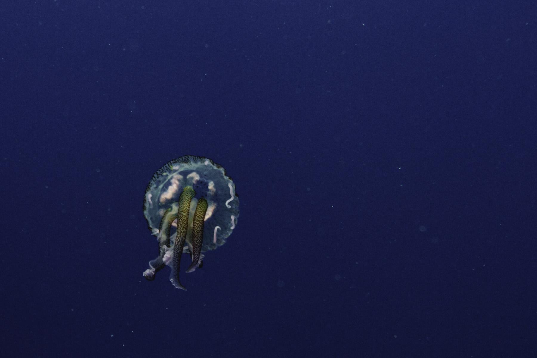 Jelly fish swims near the coast of Ibiza. Shot with Canon + Ikelite Housing