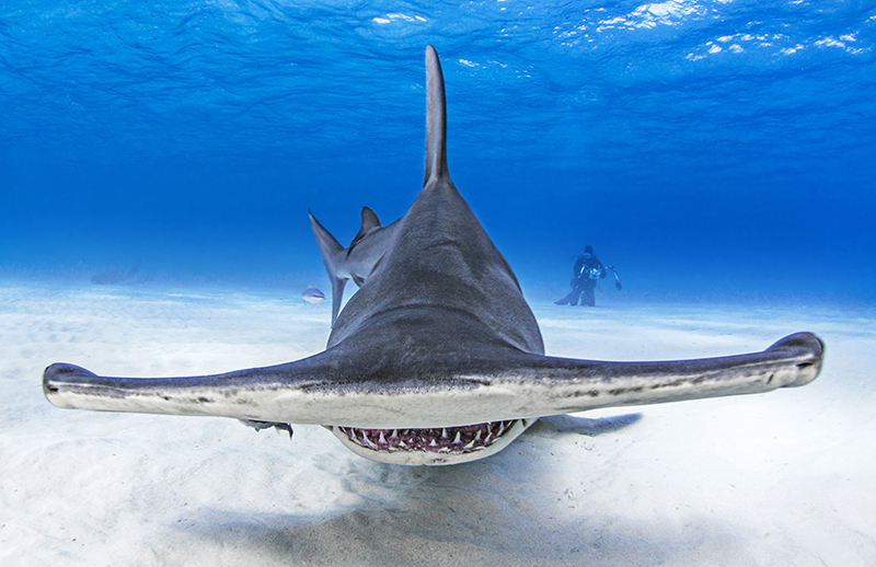Hammerhead sharks are easy to spot because of their unusual appearance