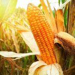Stunning Corn Comparison: GMO versus NON GMO