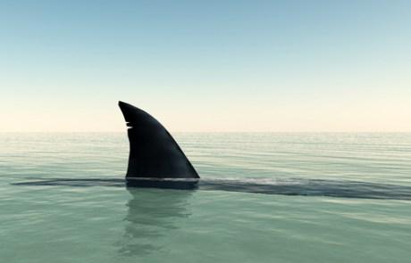 The fin of a shark