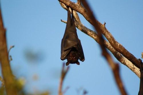 bat-868410_640