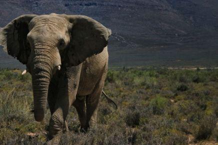 Elephant_Aquilla_ZA