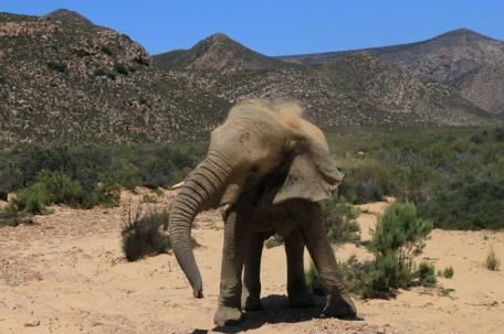 Elephant_Head_Aquila_ZA