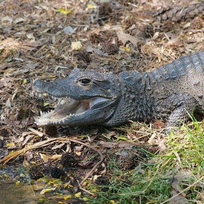 West African Dwarf Crocodile