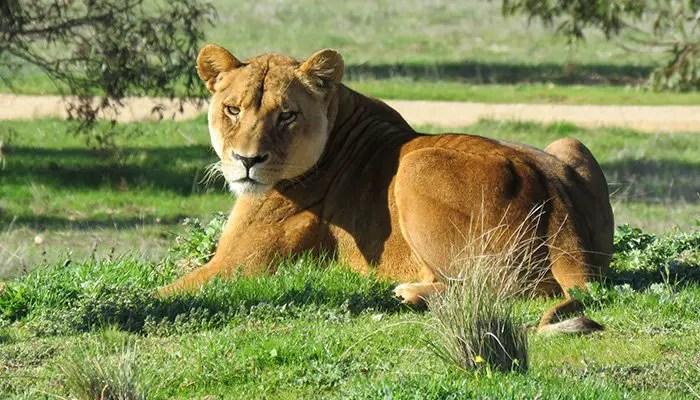 african lion quiz