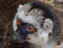 white fronted lemur