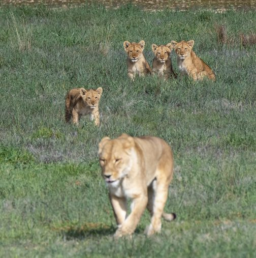 monarto safari park lion cubs