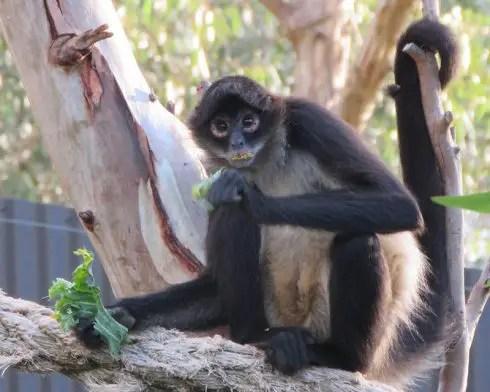black-handed spider monkey