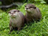 Edinburgh Zoo Otter Pair