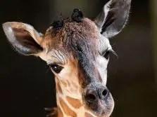 giraffe calf cheyenne mountain zoo